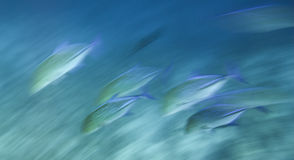 Fast moving school of fish. Motion blur shot of the fast moving Bluefin trevally (Caranx melampygus) hunting over the coral reef. Red Sea, Egypt Stock Photography