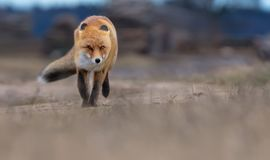 Quick Red fox runs toward on a s rand road in windy weather stock photography