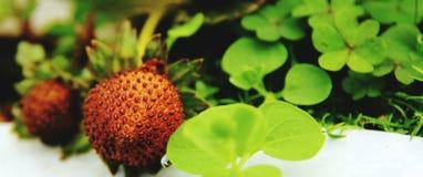 Fast rote Erdbeeren Stockfotografie
