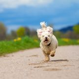 Fast running Dog Royalty Free Stock Photography