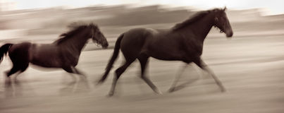 Fast running horses Stock Photo