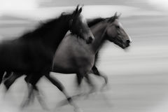 Fast running horses Stock Images