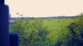 Fast running railways tracks by corn crop field, level crossing and cows. Summer daylight. Vehicle POV shot. stock video footage