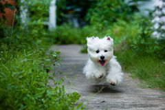 Fast running westie Royalty Free Stock Photo