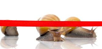 Fast snail crosses the finish tape on a white background Royalty Free Stock Photography