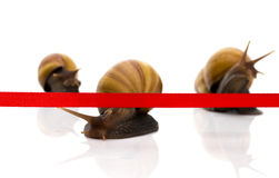 Fast snail crosses the finish tape on a white background Royalty Free Stock Images