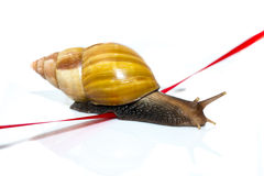 Fast snail crosses the finish tape on a white background Stock Images