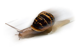 Fast Snail with motion Blur. Closeup on Fast Speedy Snail with motion Blur isolated on white Stock Photography