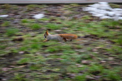 Fast squirrel stock images