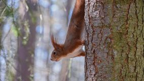Fast squirrel upside down stock image