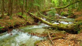 A fast stream, a river with clear water runs in a bright summer forest. Through fallen trees and stones stock footage