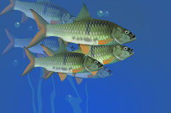 Fast swimming fish masses. In the blue river Royalty Free Stock Image
