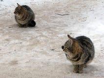 Fast synchronisierte Katzen Stockfotografie