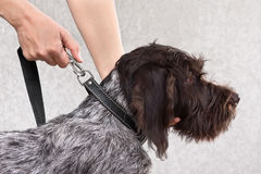 Fastening the leash to collar of dog Stock Image