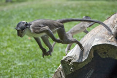 Fastest monkey. It is jumping as far as possible Stock Photography