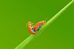 Acoplamiento de los insectos Fotografía de archivo