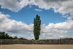 Fastigiate czarna topola przed starą kamienną ścianą i dramatycznym niebem Zdjęcia Royalty Free