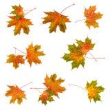 Fastställd samling för nedgångbladlönnlöv vita färgrika isolerade leaves för höstbakgrund royaltyfri foto