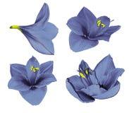 Fastställda blått-violetta Gippeastrum Blommor på en vit isolerade bakgrund med den snabba banan closeup Inget skuggar För design royaltyfria bilder
