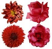 Fastställda röda blommor Den ljusa blommarosor och dahlian på en vit isolerade bakgrund med den snabba banan closeup Inget skugga Royaltyfria Bilder