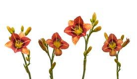 Fastställd bicolor daylily i dropparna av dagg Royaltyfria Foton