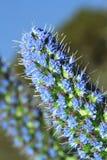 Fastuosum hermoso del echium de las flores en primer del jardín Fotos de archivo libres de regalías