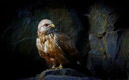 Faszerujący jastrzębia ptak Fotografia Royalty Free