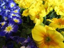 Faszinieren von blauen und gelben bunten Primelblumen auf Anzeige stockbilder
