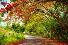 Faszinierende Straße im Schatten blühenden Delonix Regia-Baums, der führt zu Pico Isabel de Torres, Dominikanische Republik Lizenzfreies Stockfoto
