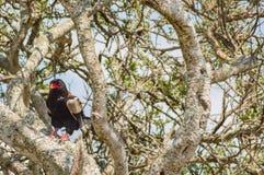 Faszinierter Adler auf einem Baum in der Savanne von Maasai Mara Park I Lizenzfreie Stockfotos