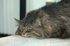 Fat Ali Cat. Sleeping Cat, the way she spends most of the day. She is a Maine Coon Cat Royalty Free Stock Image