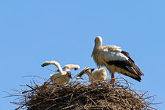 Fat baby stork Royalty Free Stock Photography