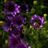 Fat bee. Bee flying on flowers in spring Stock Photos