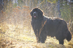 Fat big dog posing in a field Royalty Free Stock Photo