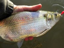 Fat Big Shad Caught in Washington DC Royalty Free Stock Images
