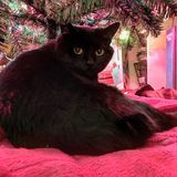Fat Black Cat with Yellow Eyes Under Christmas Tree. Black yellow eyed house cat looks at camera from under Christmas tree Royalty Free Stock Image