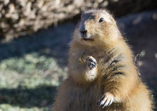 Fat black-tailed prairie dog Cynomys ludovicianus Stock Photo