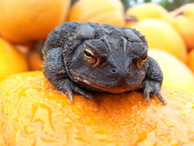 Fat black toad Stock Photography