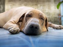 Fat Brown Sick Dog Sleeping. The Fat Brown Sick Dog Sleeping in The Daytime royalty free stock photos