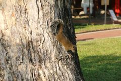 Fat Brown Squirrel Climbing on a Tree. Living in a garden Stock Photo