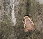 Fat bullfrog on be damp wall.  royalty free stock image