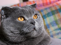Fat cat. Gray big fat lazy cat Stock Photography