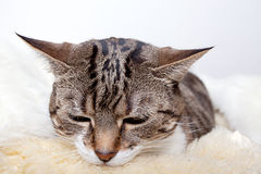 Fat Cat Royalty Free Stock Photos