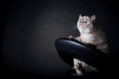 Fat cat. Fat lazy cat in chair on black background Royalty Free Stock Photo