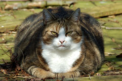 Fat Cat Royalty Free Stock Image