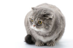 Fat cat closeup. Breed Scottish Fold. Fat cat closeup. Breed Scottish Fold on a white background royalty free stock photo