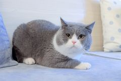 Fat cat crouching on sofa. A cute grey cat, alerted, crouching on sofa stock photos