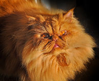 Fat cat Stock Photos