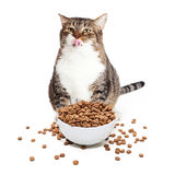 Fat Cat Eating Heaping Bowl of Food Stock Photo