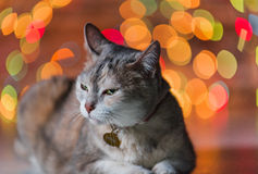 Fat cat in front of Christmas tree Royalty Free Stock Photography